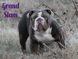 need an olde english bulldogge in texas