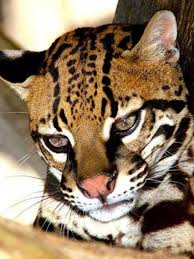 ocelot size the ocelot is twice the size of a pet cat and has a sleek dappled
