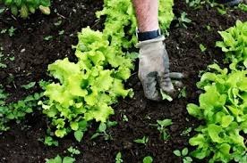 how to kill weeds in garden. weeding the lettuce patch how to kill weeds in garden