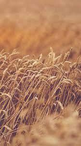 mu90-fall-grass-yellow-nature-flower-flare
