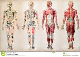 Anatomical Charts Business