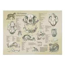 Cat Skeletal Skull Bones Anatomy Chart