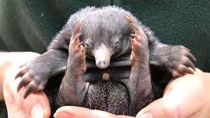 baby puggle echidna. Exellent Puggle Baby Echidna Or Puggle Inside Puggle Echidna BBC