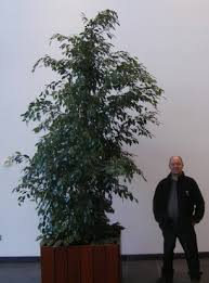 office plant displays. 3.5 Metre Weeping Fig In Birmingham Office Plant Displays H