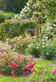 Small Picture 8 best Shrub companions images on Pinterest Knockout roses
