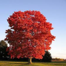 Image result for sugar maple tree