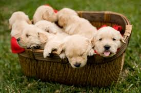 cute dogs and puppies.  And What Makes A Dog Cute Puppies In Basket With Cute Dogs And