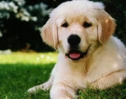 Dog Scientific Classification Chart Dog Canis Lupus Familiaris Animals A Z Animals