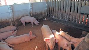 Pig Enclosure Design Basic Infrastructure For Small Scale Pig Farming