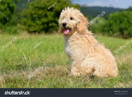 Labradoodle Designer Dogs Goldendoodle Dog Puppy 3 Months Designer Stock Photo Edit