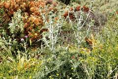 Echinops spinosissimus PFAF Plant Database