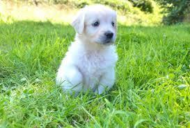 albino golden retriever. Unique Retriever White Golden Retriever Puppy And Albino Golden Retriever A