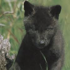 black wolf and white wolf pups. Contemporary Pups WOLVES BLACK WOLF CUB And WHITE GREY MULTI COLOURED  ANCESTORS Of DOGS The CAT  For Black Wolf And White Pups