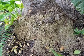 cidp aerial root stubs
