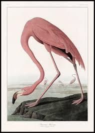 american flamingo poster animal