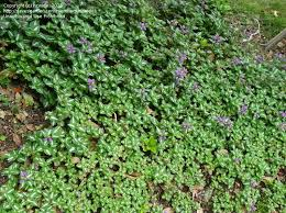 plant identification closed small ground cover plant pink flowers 3 by nzwide