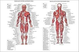 Each side is painstakingly labeled, and the bottom half of the chart features enhanced. Amazon Com Human Body Muscle Anatomy Poster Detailed With Labels 13x19 Poster Posters Prints