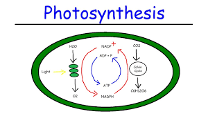 Light Cycle Photosynthesis Photosynthesis Light Dependent Reactions And The Calvin Cycle