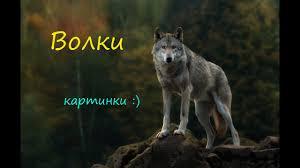 волк смотреть картинки
