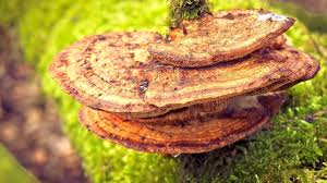 <b>Turkey Tail Mushroom</b> for Immunity, Cancer, Digestion & More ...