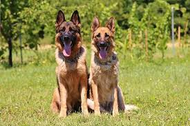 Gsd Weight Chart How Big Do German Shepherds Get Advice Growth Charts And