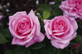 Set With 4 Pink-coloured Roses For Fragrant Rose Gardens ...