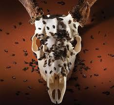 own deer skull mount with diy taxidermy