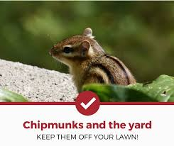 how to keep chipmunks out of garden. Exellent How Keep Chipmunks Of Your Lawn 1 Inside How To Keep Chipmunks Out Of Garden