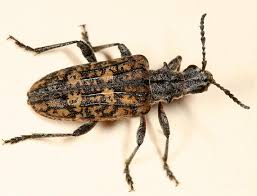 Pine Borer Ribbed Pine Borer Rhagium Inquisitor Photo Tom Murray Photos At