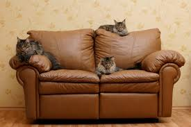 maine cats on leather couch