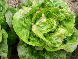 Schweitzer's Mescher Bibb Bibb (Butterhead) Lettuce