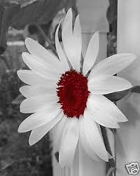 black white red sunflower wall art interior home decor matted picture on black and white with a splash of red wall art with samsung ativ one 7 curved dp700a7k k01us 27 inch all in one desktop
