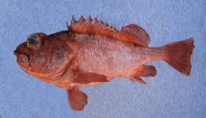 Aurora Rockfish | Mexico – Fish, Birds, Crabs, Marine Life, Shells ...