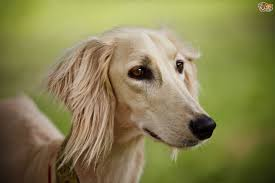 saluki dog. the saluki is a breed of sighthound that also known by various other names, including arabian greyhound and sloughi. they are one oldest dog n