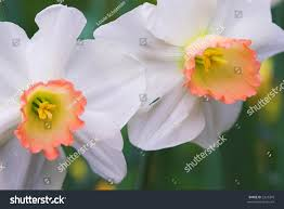 narcissus and the lake under the mirror of the sleeping water  white daffodils narcissus peach colored cup shallow depth save to a lightbox