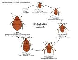 Bed bug sizes Penny Bed Bug Size Bed Bugs Are Most Active At Night Time Starting At Very Young Bed Bug Size Cision News Bed Bug Size Instar Bedbug Showing First Feeding Of Blood Bed Bug