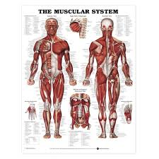 Anatomy Chart Muscular System The Muscular System Anatomical Chart Poster Laminated
