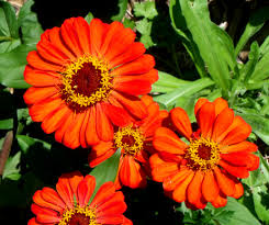 Small Picture Garden Landscape Pictures Shop By Subject Oil Orange Zinnias In A