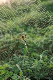 black and yellow garden spiders are harmless to humans and provide excellent opportunities for children and s to observe in the wild all summer long