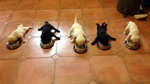 puppy feeding schedule everything you need to know the dog people by rover