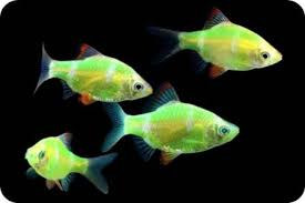 petco glofish. Wonderful Petco Glofish Tetra Barb Intended Petco Glofish