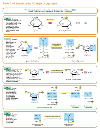 Details Of The 10 Steps Of Glycolysis Part 2 Of 2 Biological