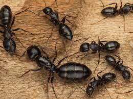 carpenter ant pic. Contemporary Carpenter To Carpenter Ant Pic N