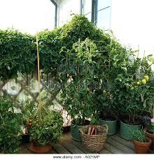 Buy Climbing Plants Online  Trellis Climbers OnlineWall Climbing Plants In Pots