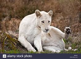 white lioness. Modren White Portrait Of A White Lioness Western Cape South Africa  Stock Image Inside White Lioness Alamy