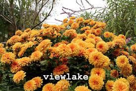 com 1 chrysanthemum plants pumpkin orange garden mum perennial garden outdoor