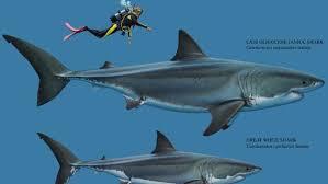 Shark Size Comparison Chart Teeth Of Prehistoric Mega Shark Found At Beach Morning