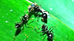 how to get rid of ants in a vegetable garden naturally both house and carpenter
