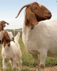 Goat Birthing Chart Goat Pregnancy Calculator Gestation Calculator Com