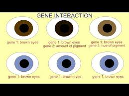 Eye Color Genetics Chart Are Blue Eyes Endangered Eye Color Chart Genetics